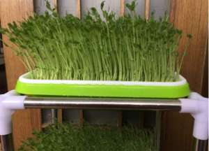 豌豆苗的家庭种植方法 千万不要误选成了黄豆